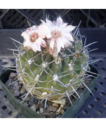 Eriosyce curvispinus (paucicostata) Black Spine... - $19.29