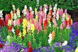 """2001+SNAPDRAGON """"TETRA MIX"""" Flower Seeds 18-24"""" Tall Garden/Patio Contai... - $3.50"""