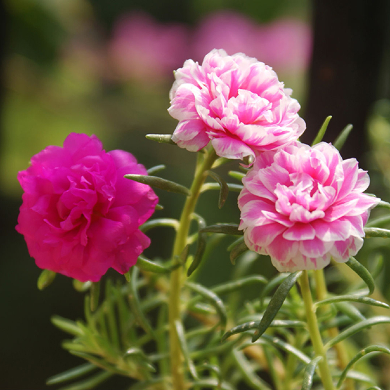 500Seeds Mixed Color Moss-rose Purslane Double Flower Seeds for planting