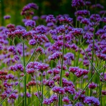 SHIP FROM US 1,600 Purpletop Vervain Flower Seeds (Verbena Bonariensis),... - $59.98
