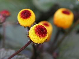 200 Seeds Spilanthes Acmell Oleracea Toothache Plant Paracress Peek-A- B... - $6.85