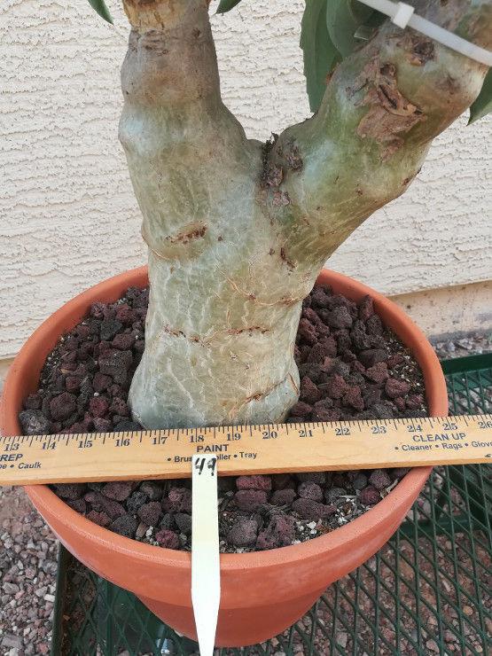 Cyphostemma juttae The Goliath of Caudex Plants 49