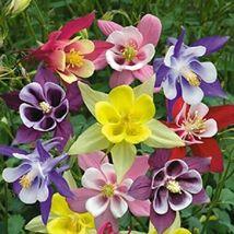 50 Giants Mix Columbine Flower Perennial Seeds #STL17 - $15.17