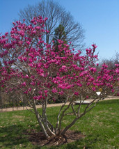 "3 Plants Ann Magnolia Tree Live Plant Established Rooted in 2.5"" Pots - $60.99"