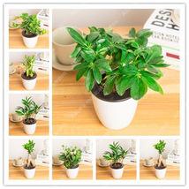 100pc Fresh Mini Banyan Tree Seeds, 6 kinds of Evergreen Bonsai Plants S... - $4.92