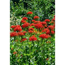 Maltese Cross, Lychnis Chalcedonica, Red Flower, 1600 Seeds #GRC98 - $12.17