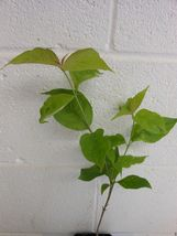 "White Flowering Dogwood 4"" pot (cornus-florida) image 4"