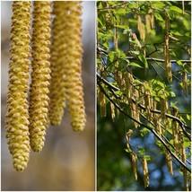 Smooth Alder Tree (2-3') - Home Garden Outdoor Living - $71.99