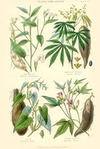 Plants used as food. Arrow Root, Cassava, Yam, Sweet Potato by William Rhind - A - $19.99+