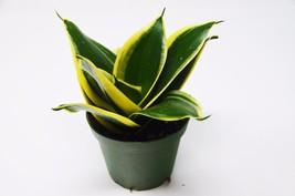 "Snake Plant in Pot (Sansevieria) 'Black Gold' / 4"" Pot / Live Plant / Li... - $25.99"