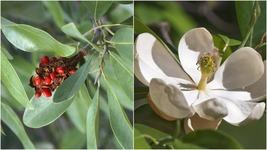 Sweet Bay Magnolia Tree (2-3') - Home Garden Outdoor Living - $87.99