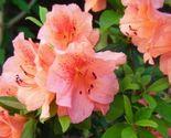 "Azalea - Duc De Rohan - Salmon - 25 Plants - 2"" Pot - Rhododendron Zone 8 - 10 - $209.00"