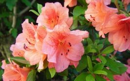 "Azalea - Duc De Rohan - Salmon - 25 Plants - 2"" Pot - Rhododendron Zone ... - $220.00"