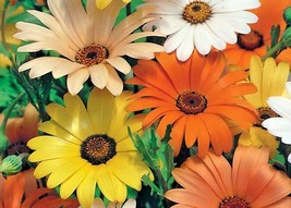 1 OZ=15001+AFRICAN DAISY MIX Seeds White Orange Yellow Apricot Drought T... - $10.00