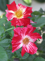 Climbing Rose Bush Starter Plant****4TH Of July** Ships Without Pot** Gardening - $70.00