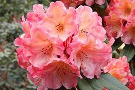 Rhododendron 'Honey Butter'- Starter Plant - $53.46