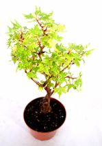 "4"" Pot Maple Grape Leafed Begonia Plants - Easy Care Hardy - House Gift... - $14.00"