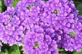 200 Seeds Veined Verbana Verbena Vervain Moujean tea Purpletop Blue Flow... - $7.99