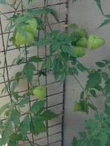 Thai Cardiospermum halicacabum Sapindaceae 10 Seeds ThailandMrk - $4.00
