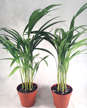 2 areca Palm Live Plant Easy to grow indoors or out Dypsis lutescens in ... - $30.00