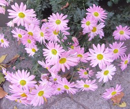 7 Vibrant Pink Chrysanthemum Plants(MUms) Winter HardlyPerennial Fall Blooming - $8.99