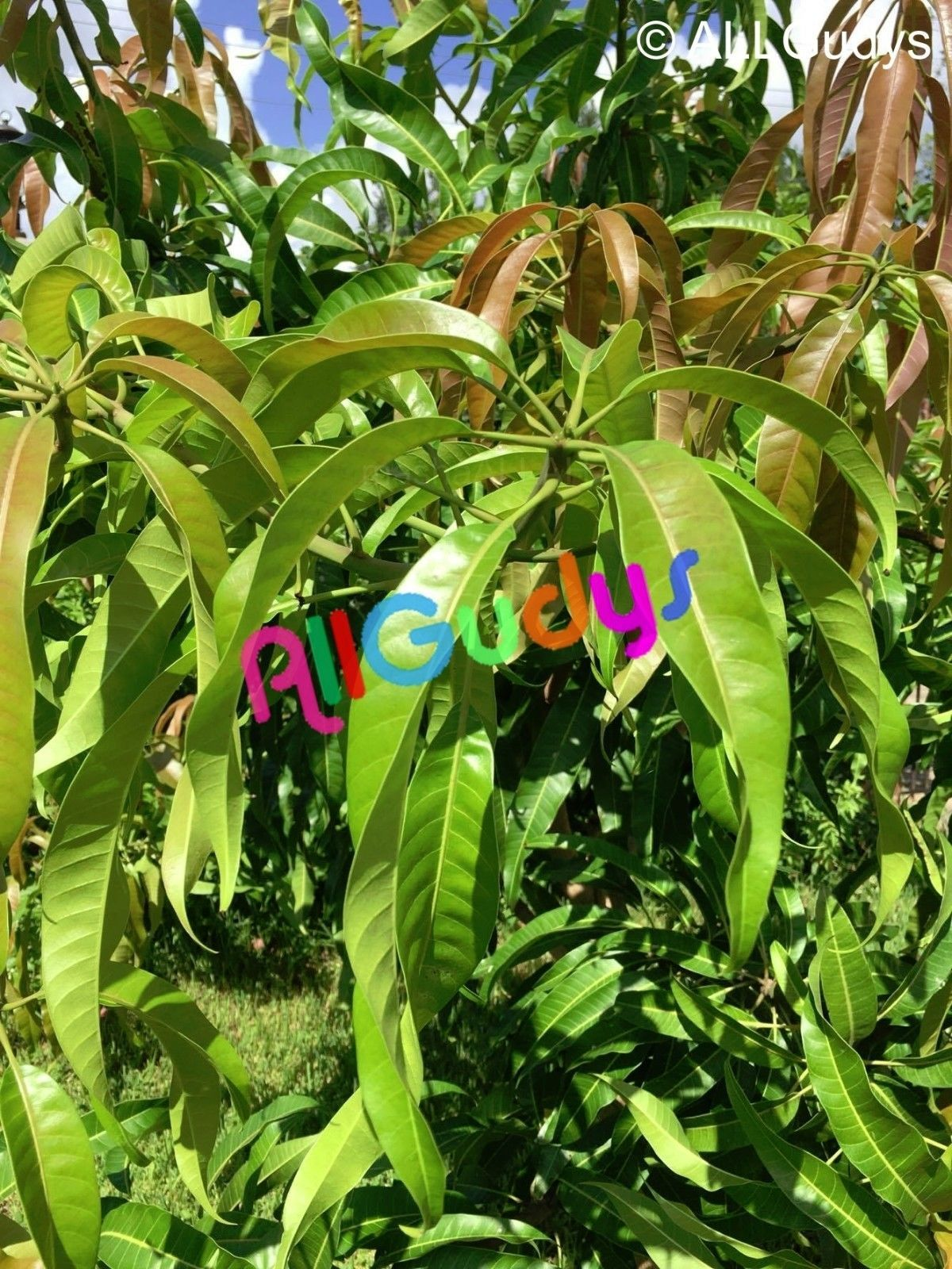 Primary image for Fresh Organic Alphonso Mango Leaves Home Grown in Texas QTY 30, 15, 10 Leaves