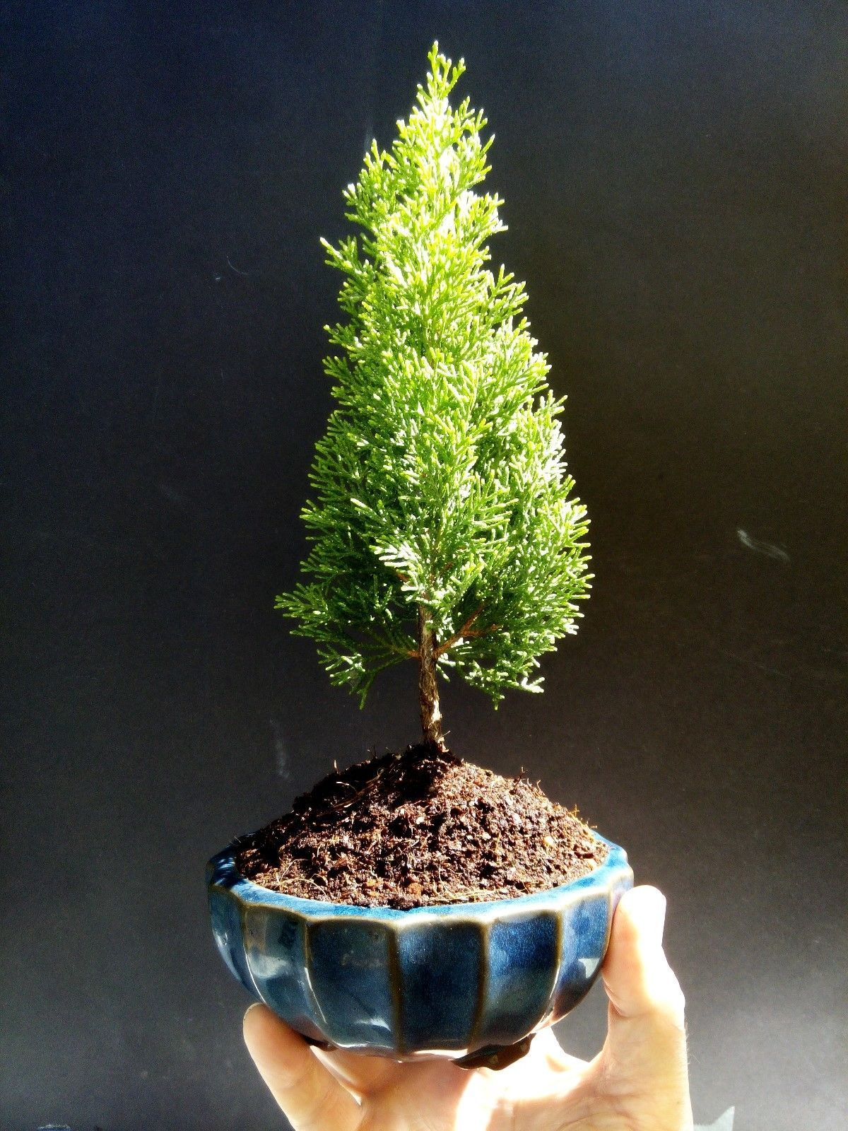 Primary image for Cupressus Sempervirens  Bonsai - 3 year old plant