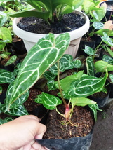 Anthurium crystallinum ,  free Phytosanitary Certificate and Ship via DH... - $15.00
