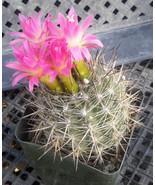 Eriosyce coimasensis South American Cacti Pink ... - $9.16