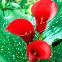10pcs calla lily red thumb200