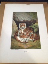TIGER  Print , Vintage 1898 Selmar Hass Publisher - $27.83