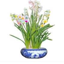 Potted Daffodils Flower Plants Seeds Absorption Narcissus Tazetta 100PCS - $3.99