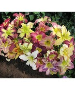 100 Seeds Day Lily Daylily Seeds Browns Ferry Daylily Mix Seed Hemerocal... - $8.99