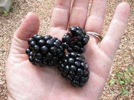 SHIPPED FROM US 630 Triple Crown Blackberry Antioxidant Fruit Seed, JK05 - $31.56