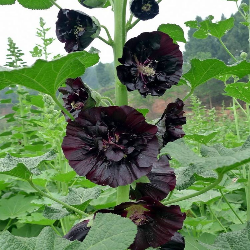 Tall Hollyhock Black Flower Alcea Rosea Nigra: 20 Black Nigra Hollyhock Seeds Alcea Rosea Beautiful DIY