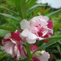 Balsam Rose  #  Flower Seeds - $2.99