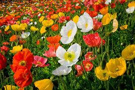 Poppy Flower Seeds - $3.99