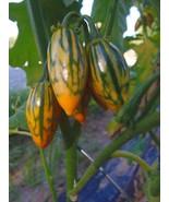 Toga Striped Eggplant - edible ornamental - $4.25