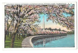 Washington DC Cherry Blossoms Potomac Park Riverside Drive Postcard - $6.17