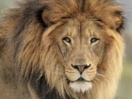 LION (8)  FULL  XSTITCH KIT - $35.00