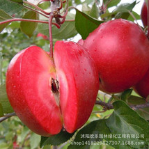 Apple red apple fruit love red meat, potted fruit trees can be planted fruit tre - $7.00