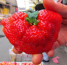 5000pcs Organic Giant Strawberry,Really Huge and Sweet Very Edible Fruit... - $27.95