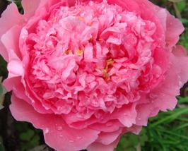 5 pcs Very Lovely Rose Pink Peony Shrub Flowers Seeds - $14.21