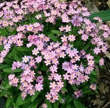 25 grams Seeds - Victoria Pink Forget Me - Perennial HH01 - $11.99