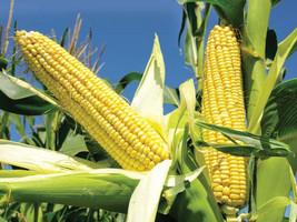 Maize (Corn), Bhutta, Makai, Maka,  Seeds - $4.00