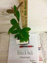 Blackhaw Viburnum (Viburnum prunifolium) image 4