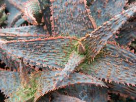 ALOE cv ORANGE MARMALADE @J@ exotic rare color succulent bonsai  seeds 5... - $9.99