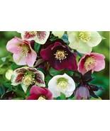 Helleborus Lenten Rose | Mix Color | 20 Fresh Seeds - $8.99