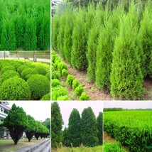 Hot Selling Cypress Trees Seeds Conifer Bonsai Seeds DIY Home Garden 60p... - $4.00
