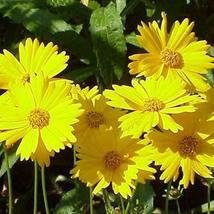 Non GMO Bulk Lance-Leaf Coreopsis Flower Seeds Coreopsis lanceolata (10 Lbs) - $406.84
